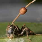 Ant-mind-controlling-fungus