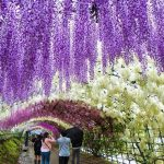 Japan's Wisteria Festival